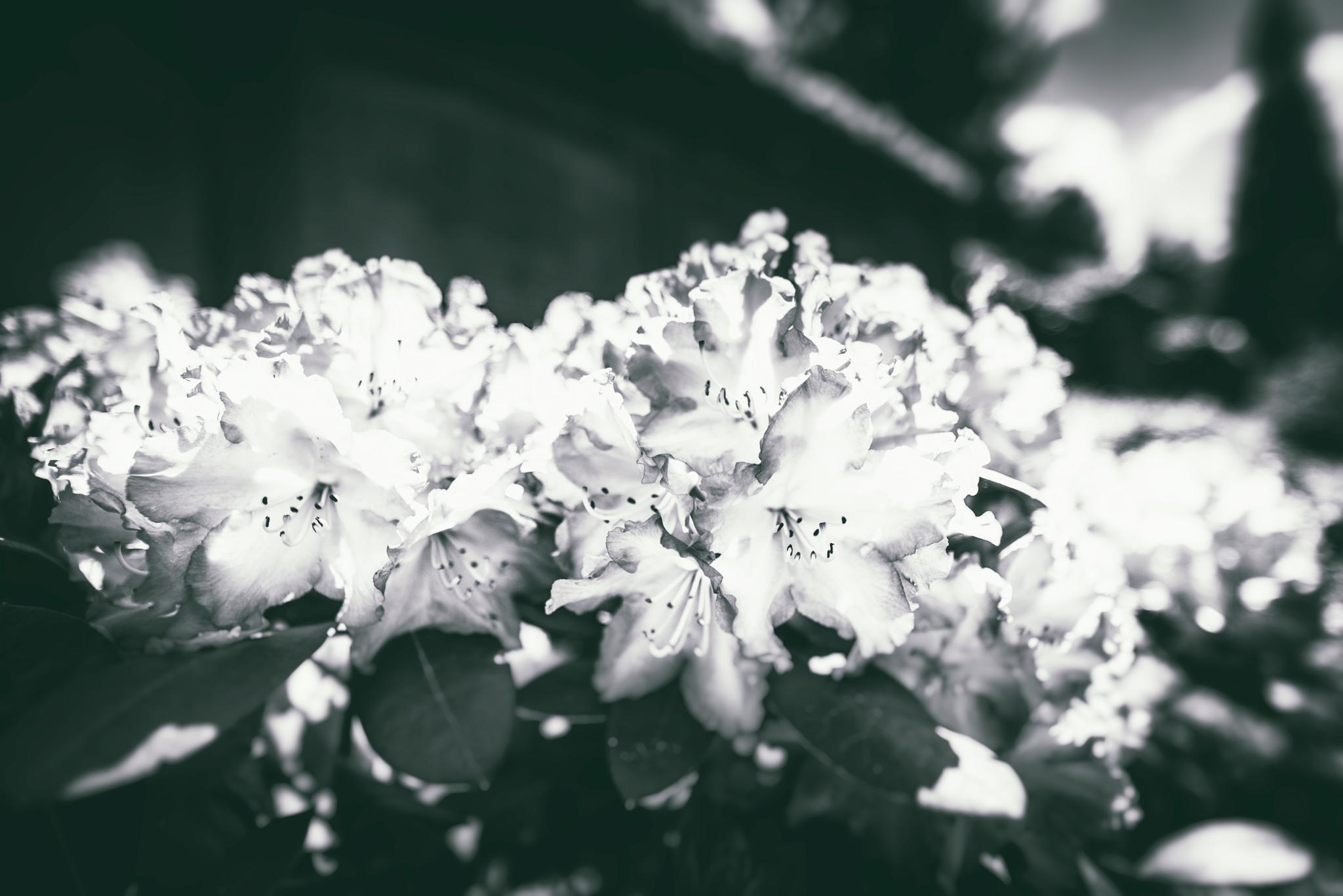 Fleur noir et blanc film riss Fleur noir et blanc
